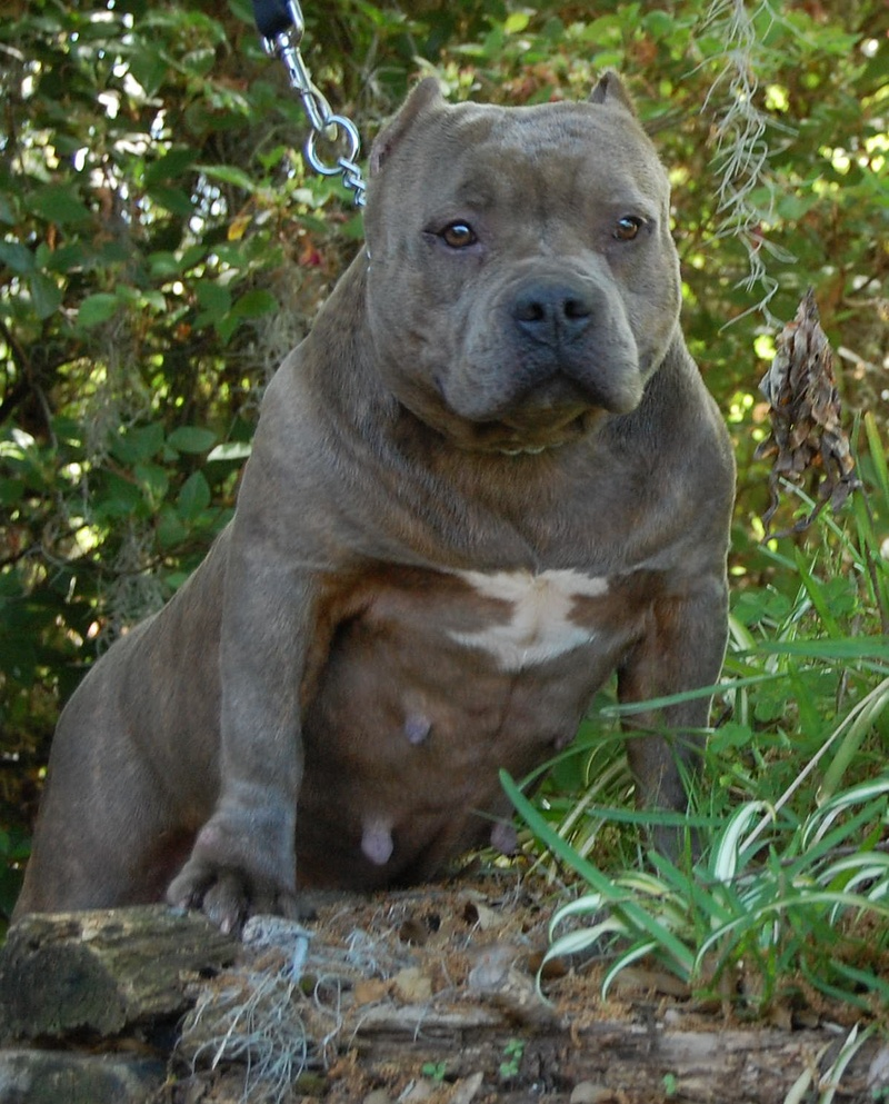 Blue Brindle Pitbull Puppies